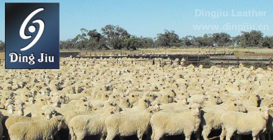 澳洲美利奴羊群