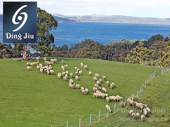 澳洲天然牧场上的羊群